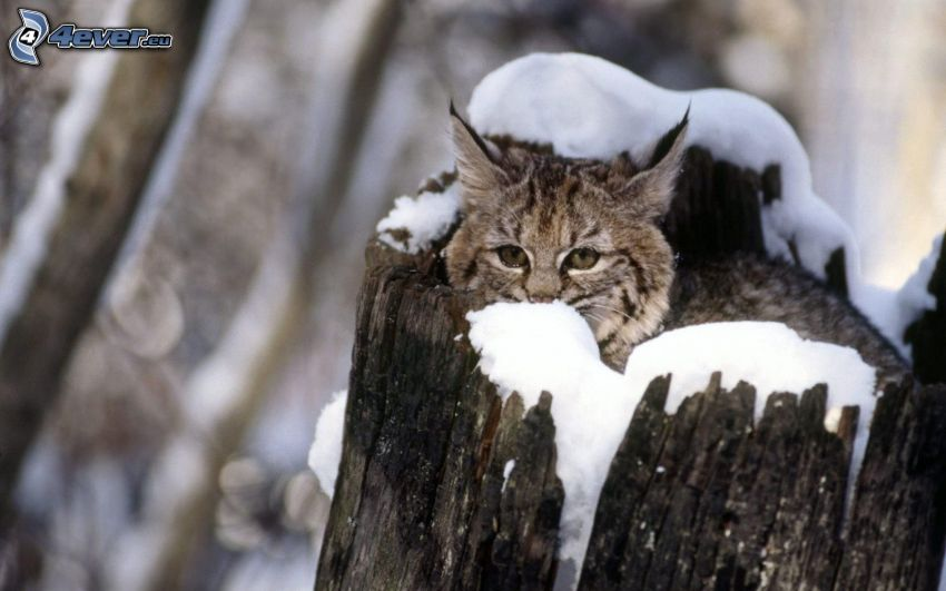 lince, tribu, nieve