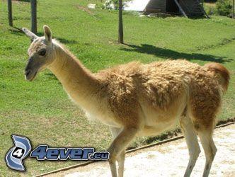 llama, animal, pelage, cuello