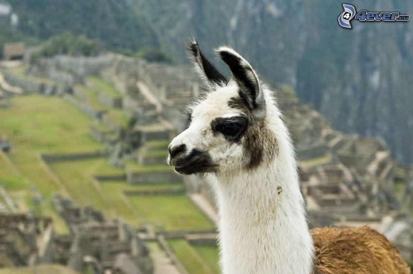 llama, Machu Piccu