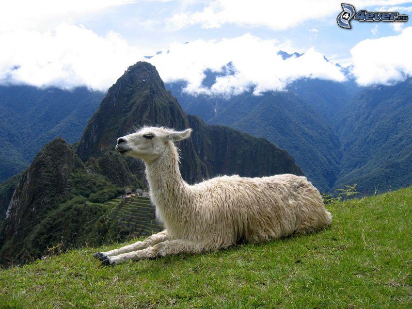 llama, montañas, nubes, Machu Piccu