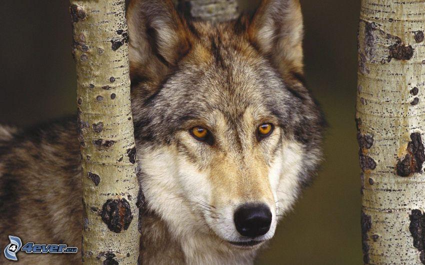 lobo, abedul