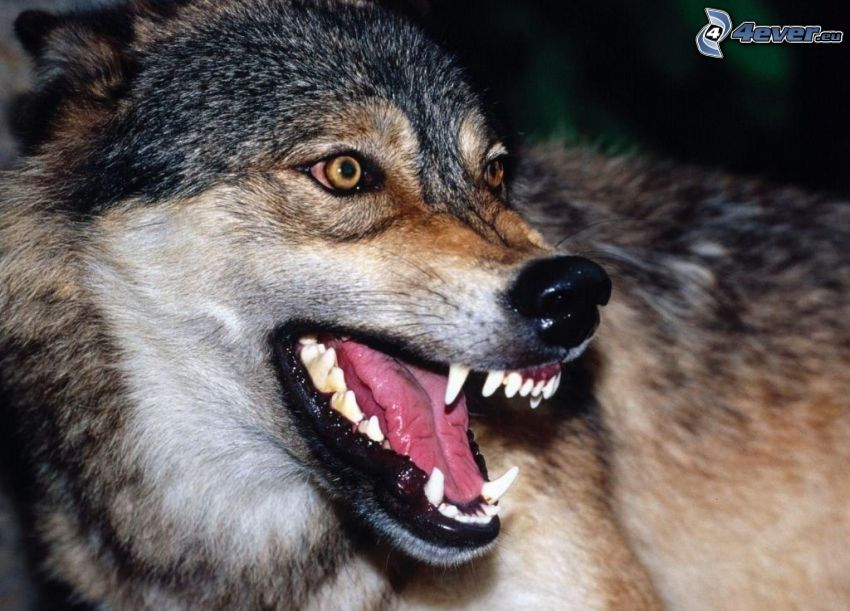 lobo, colmillos