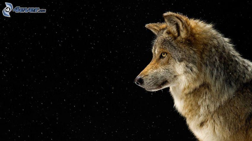 lobo, copos de nieve
