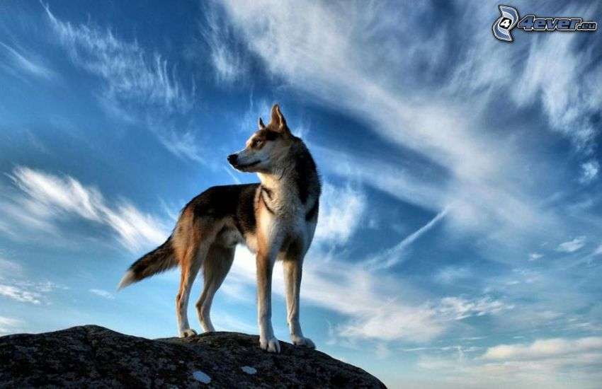 lobo, roca, cielo, nubes