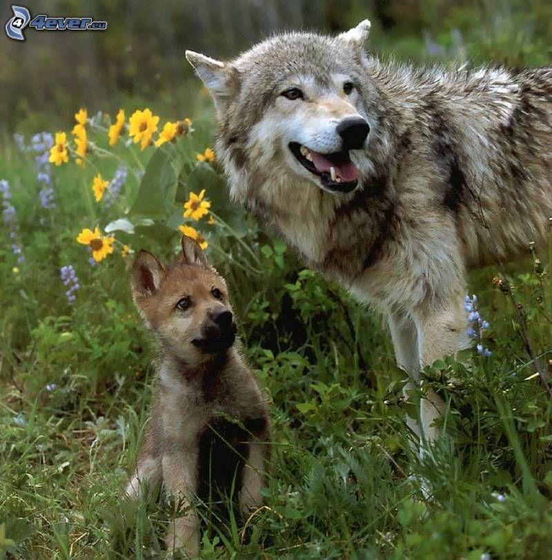 lobo con cachorros
