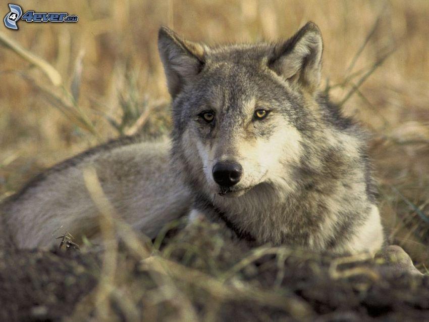 lobo en hierba, mirada