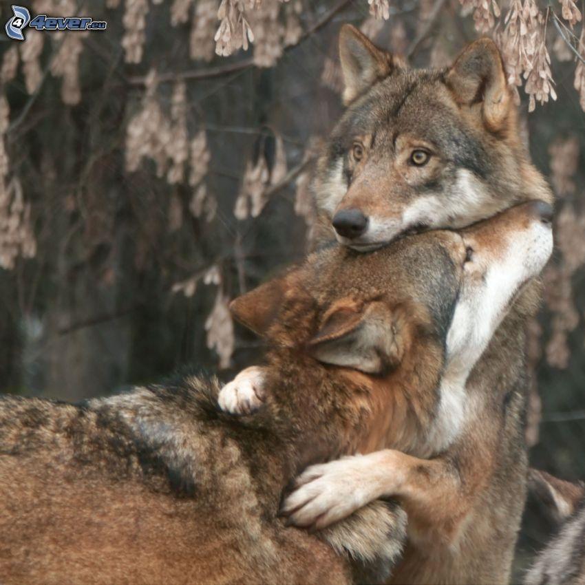 lobo macho y lobo hembra, abrazar