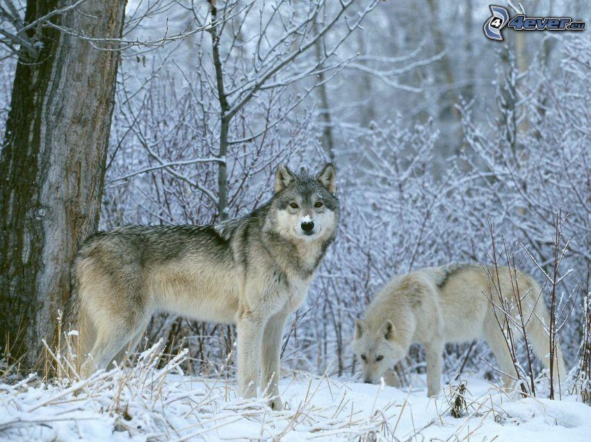 lobo macho y lobo hembra, nieve, invierno