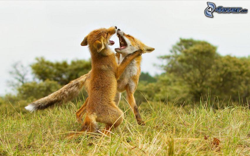 lobos pequeños, crías, juego