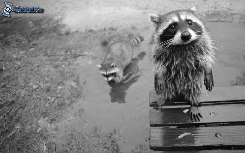 mapache, blanco y negro