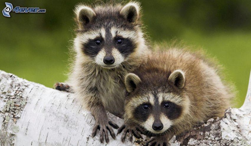 mapaches, tribu