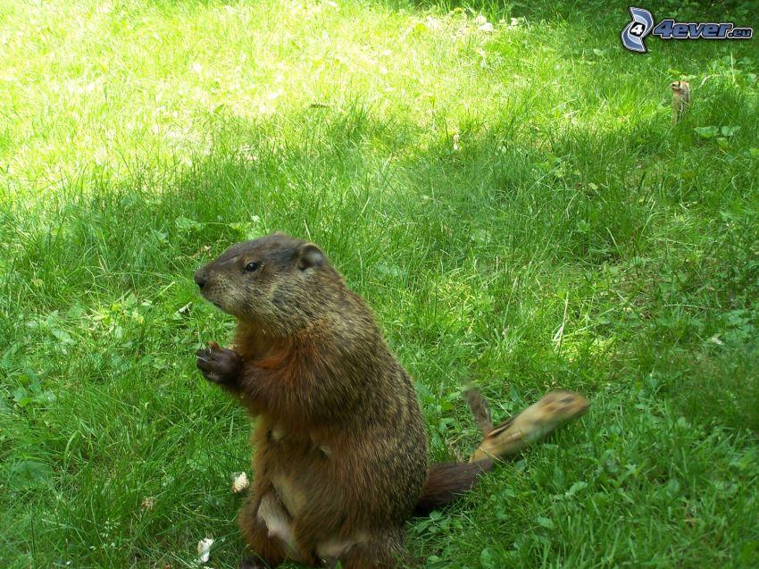 marmota, césped