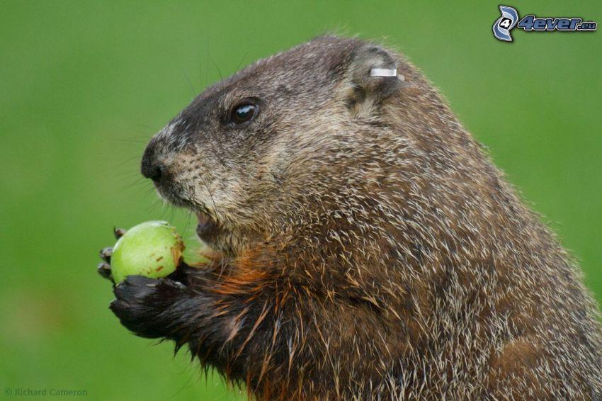 marmota, manzana