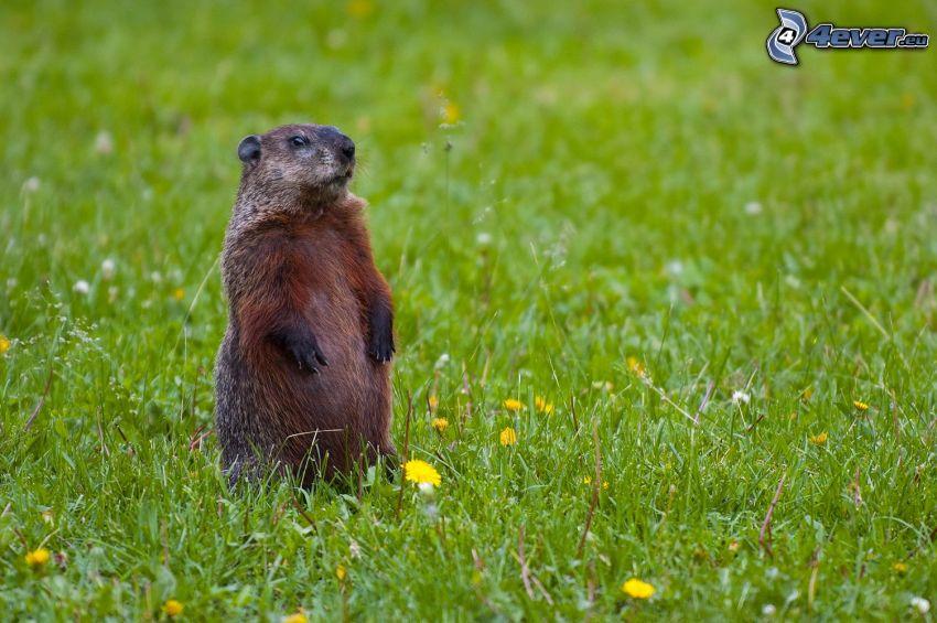 marmota, prado