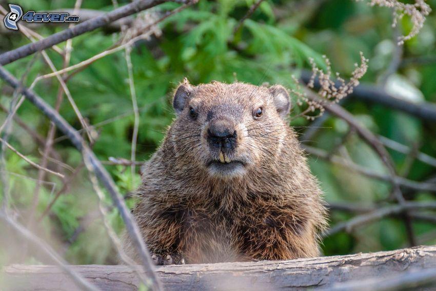 marmota, ramas
