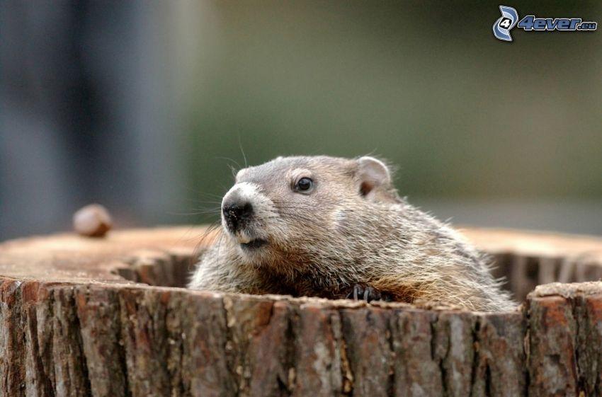 marmota, tribu