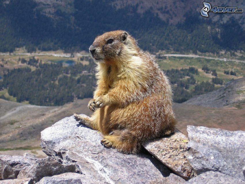 marmota, vista