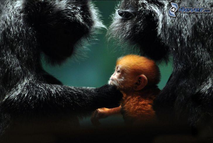 mono, familia