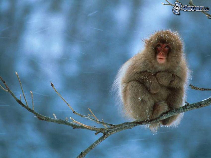 mono, invierno