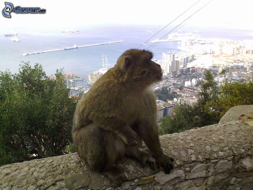 mono, muro, ciudad, mar, Gibraltar