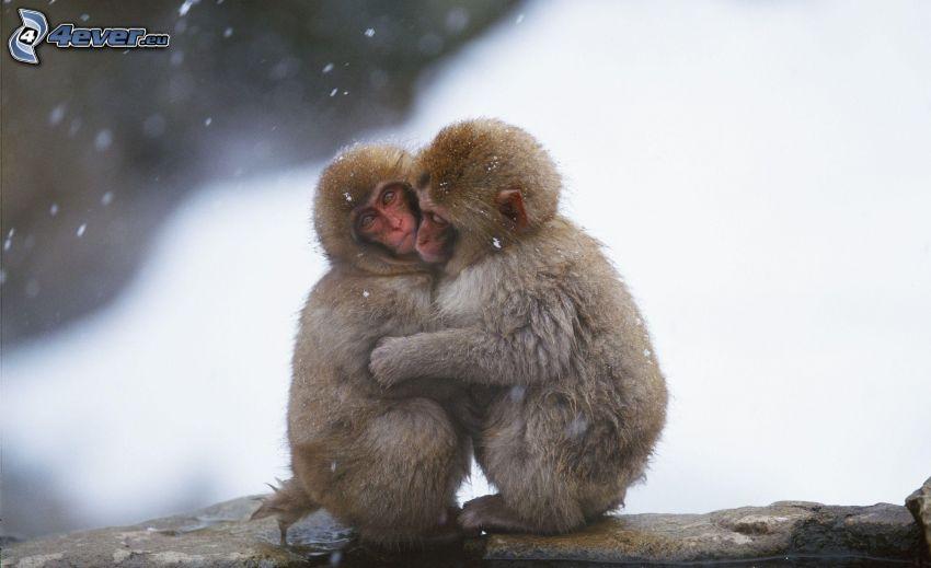 monos, abrazar, nieve