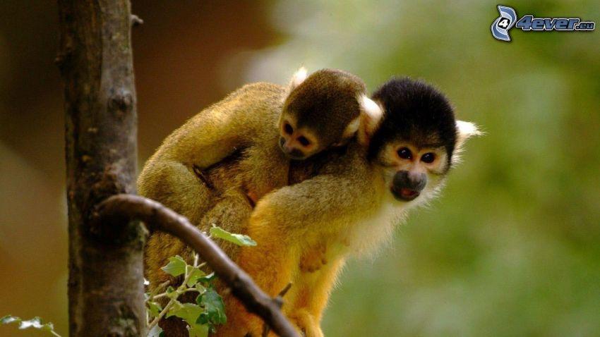 monos, abrazar