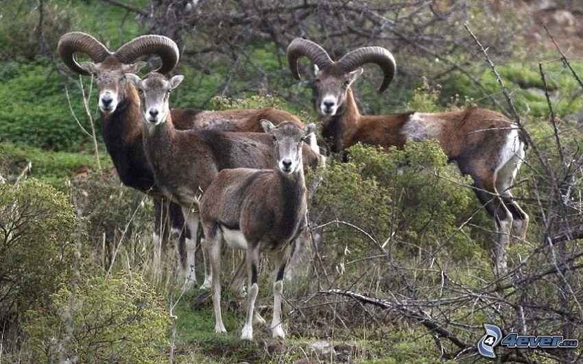 muflones, Arbustos