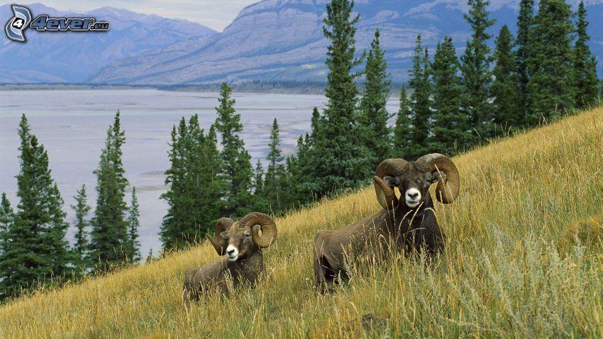 muflones, prado, hierba seca, lago grande, árboles coníferos