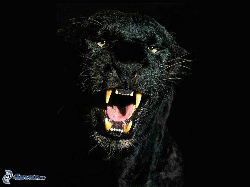 negro puma, fiera, animal, colmillos