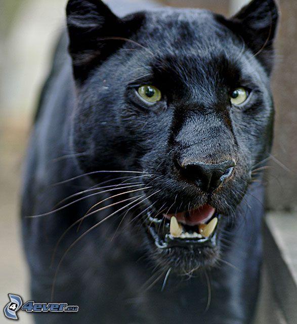 negro puma, pantera