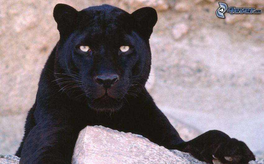 negro puma