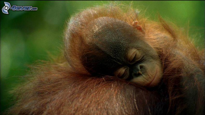 orangután, cachorro, dormir