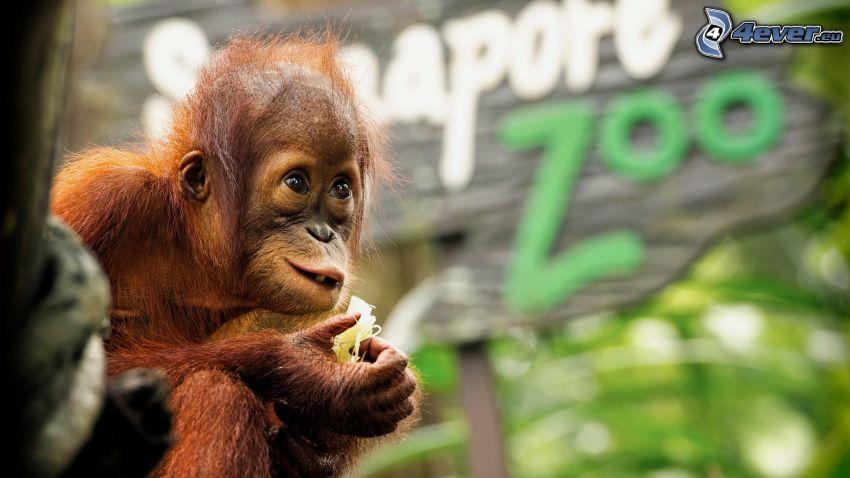 orangután, cachorro, ZOO