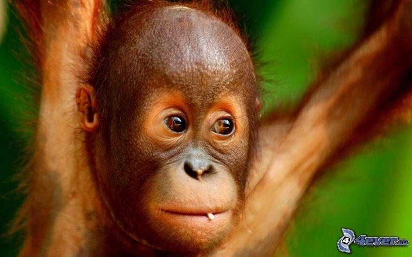 orangután, cachorro