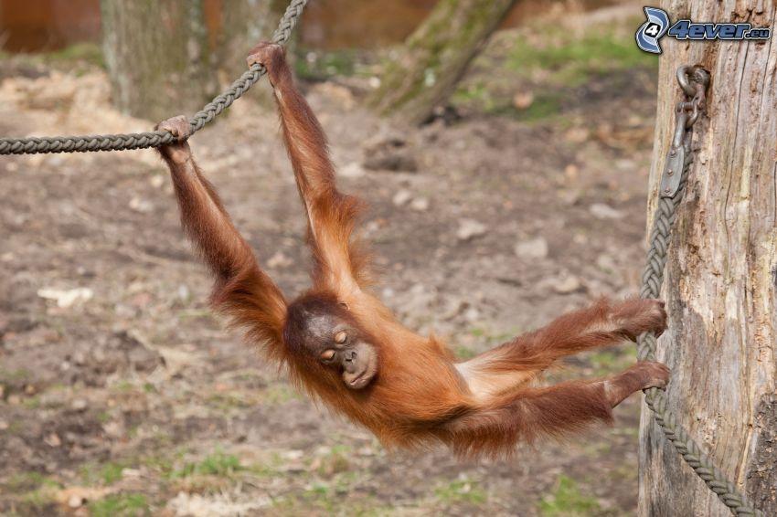 orangután, dormir