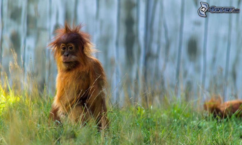 orangután, hierba