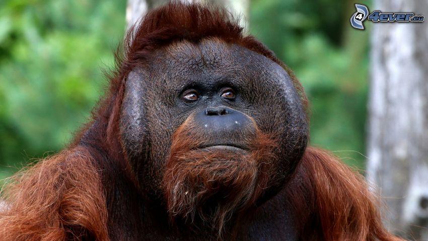 orangután, mirada