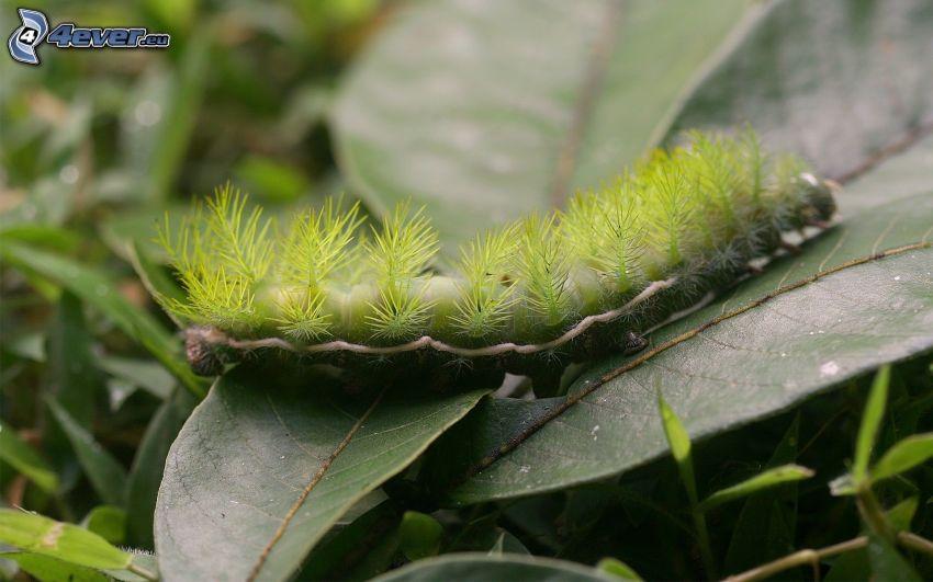 oruga verde, hojas verdes