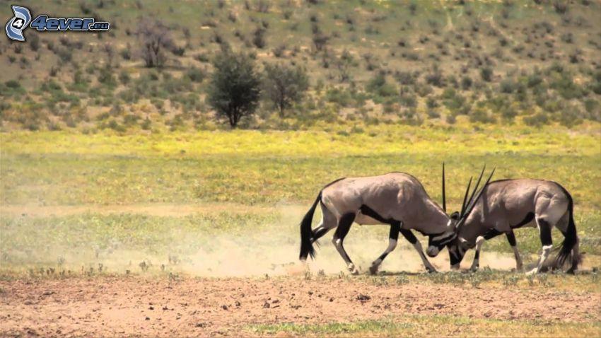 oryx, sabana