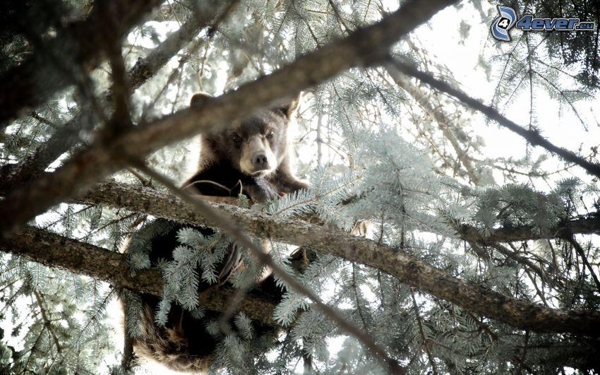 oso, cachorro, conífera