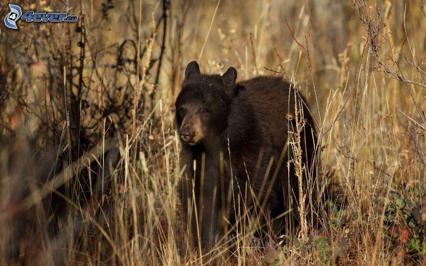 oso, cachorro, hierba seca