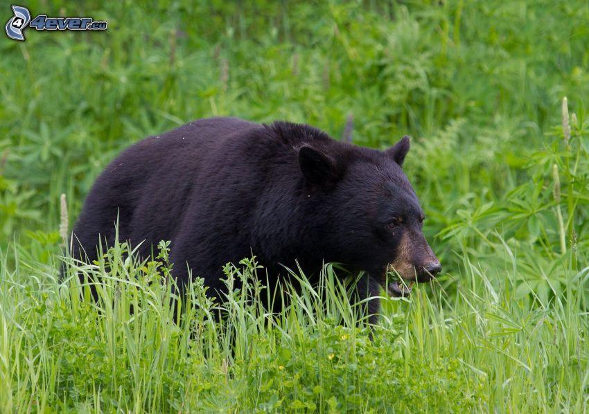 oso negro, hierba alta