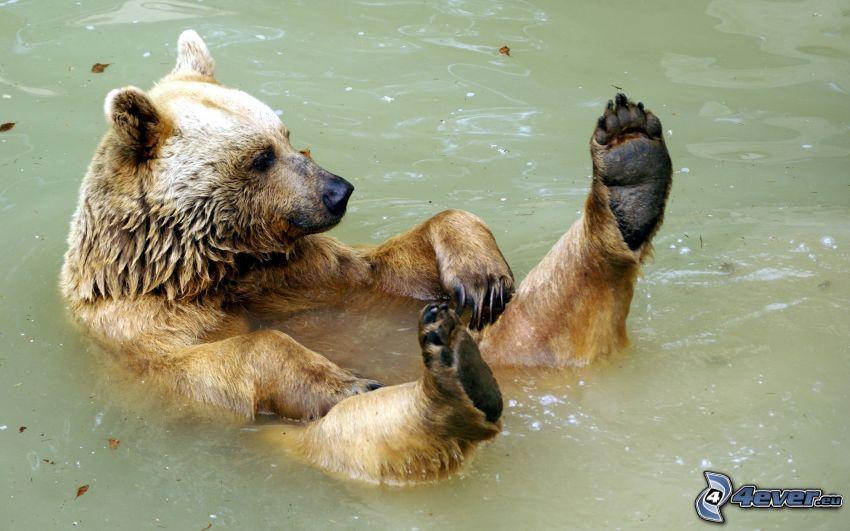 oso pardo, agua, baño, pies