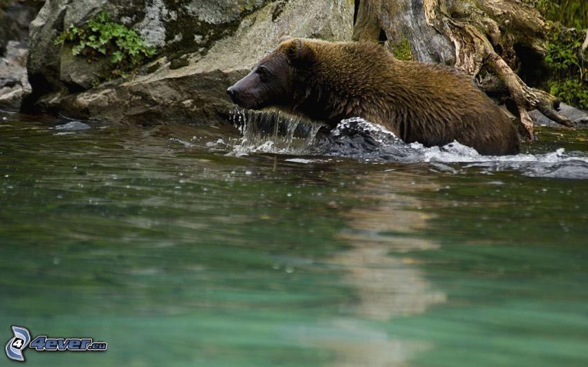 oso pardo, agua