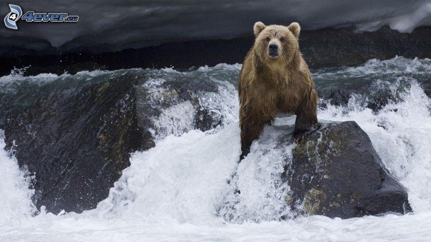 oso pardo, aguas bravas