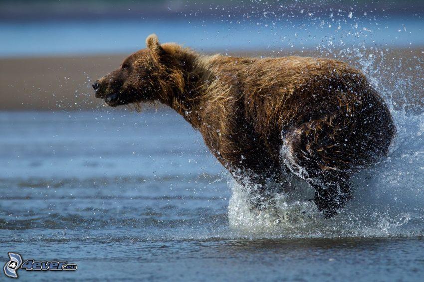oso pardo, carrera, agua, splash