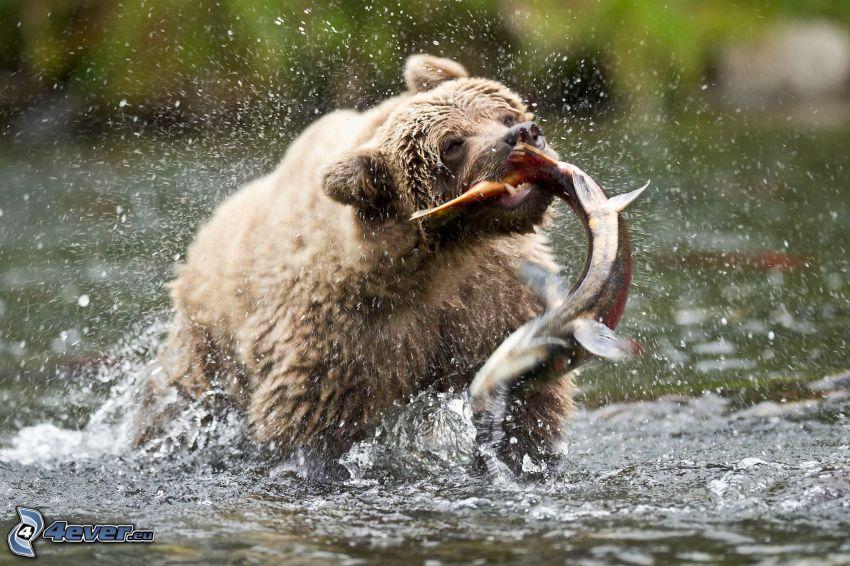 oso pardo, caza, pez