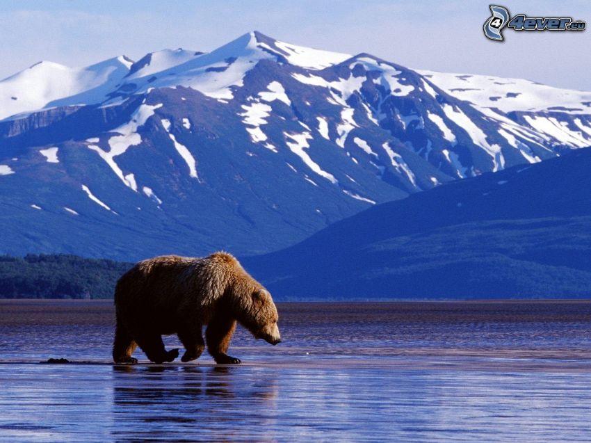 oso pardo, colinas cubiertas de nieve