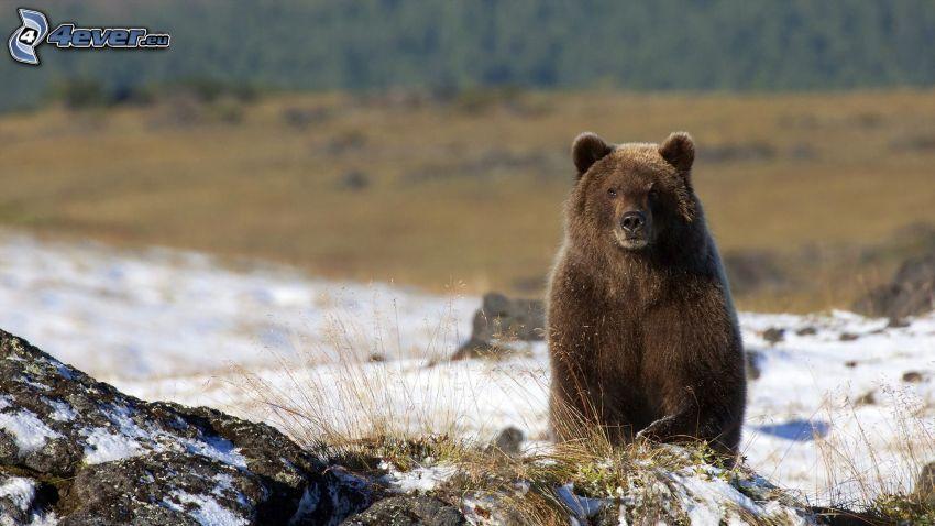 oso pardo, nieve