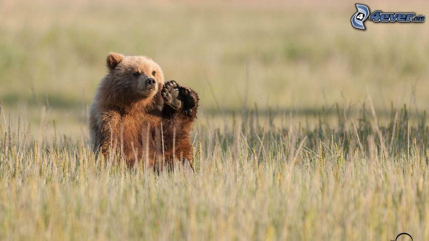 oso pardo, pata, hierba seca